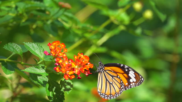 Monarch Butterfly On Orange Flower Video of monarch butterfly on orange flower. 4K butterfly insect stock videos & royalty-free footage