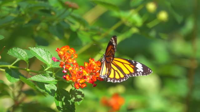 Monarch Butterfly On Orange Flower