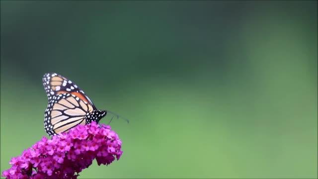Monarch Butterfly on purple butterfly bush, clean green background