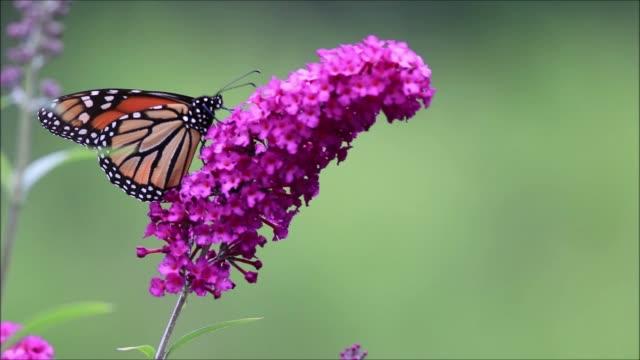 monarkfjärilen på lila fjäril bush grön bakgrund - pollinering bildbanksvideor och videomaterial från bakom kulisserna