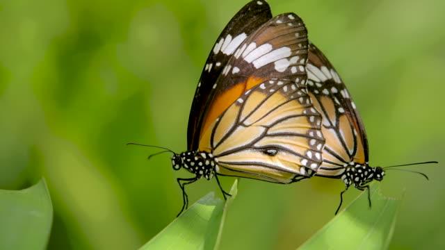 monarch butterfly ,slow motion - farfalla ramo video stock e b–roll