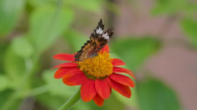farfalla monarca , rallentatore - farfalla ramo video stock e b–roll