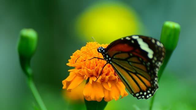 monarch butterfly - motyl filmów i materiałów b-roll