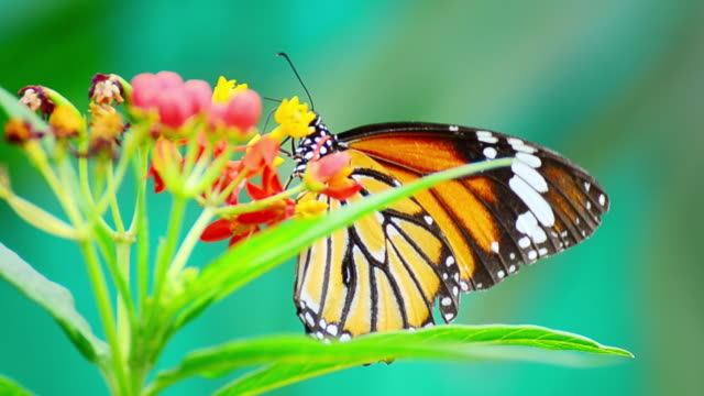 Monarch Butterfly Video Close up of Monarch Butterfly on a flower (4K.) butterfly insect stock videos & royalty-free footage