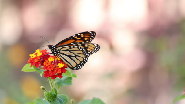 Monarch Butterfly A stock video of a Monarch Butterfly landed on a Lantana flower. Filmed at 4K using the Canon EOS 1DX Mark II butterfly insect stock videos & royalty-free footage