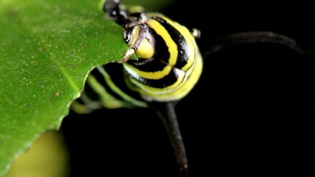 stockvideo's en b-roll-footage met monarchvlinder - rups