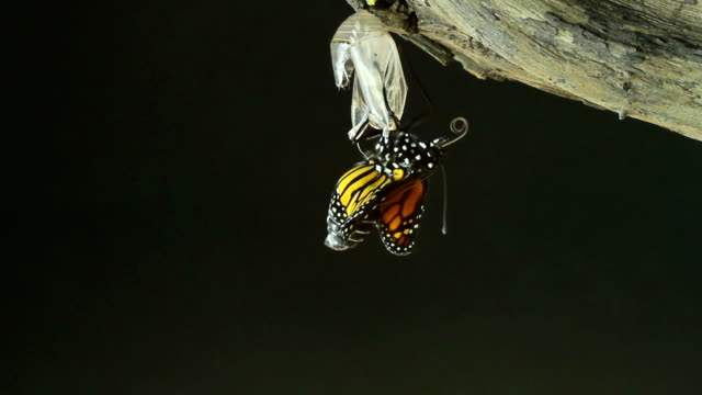 monarch butterfly  - raupe stock-videos und b-roll-filmmaterial
