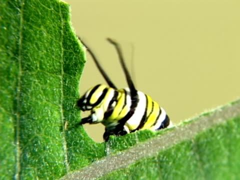 stockvideo's en b-roll-footage met monarch caterpillar eating at high speed - rups