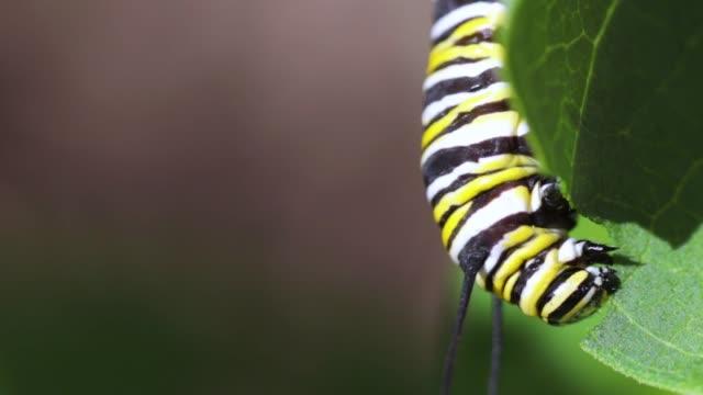 stockvideo's en b-roll-footage met monarch caterpillar eten kroontjeskruid - rups