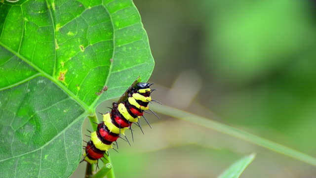 stockvideo's en b-roll-footage met monarch caterpillar eating - rups