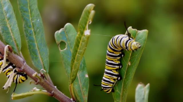 stockvideo's en b-roll-footage met monarch caterpillar going down milkweed plant - rups