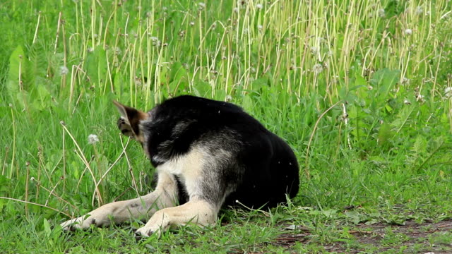 mongrel cane - cane addestrato video stock e b–roll