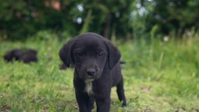 stockvideo's en b-roll-footage met mongrel puppy, zwarte kleuren gaan op het gras langzaam. - lood