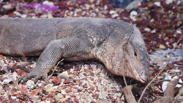 Monitor Lizard camouflage on sea shore close up