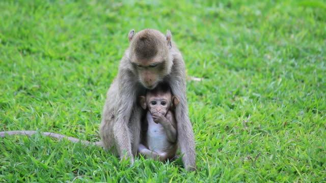 monkey and its baby sit eating grass. - makak maymunu stok videoları ve detay görüntü çekimi
