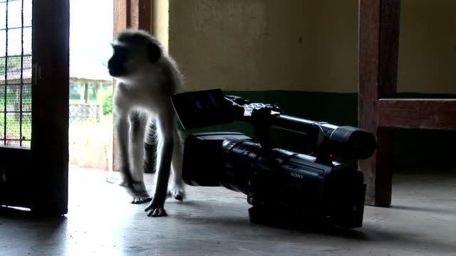 Monkey and video camera in African house room video