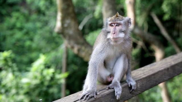 apa på heliga monkey forest. ubud, bali, indonesien - djurfamilj bildbanksvideor och videomaterial från bakom kulisserna