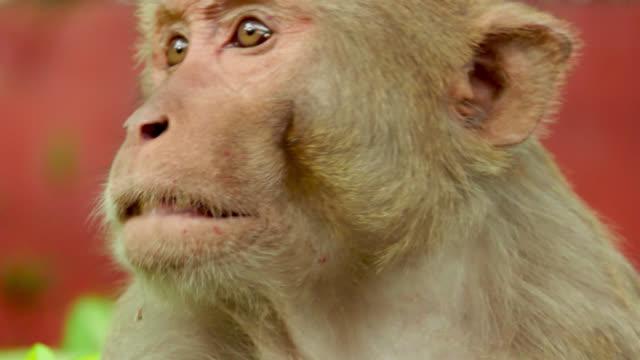 monkey bares teeth - reso video stock e b–roll