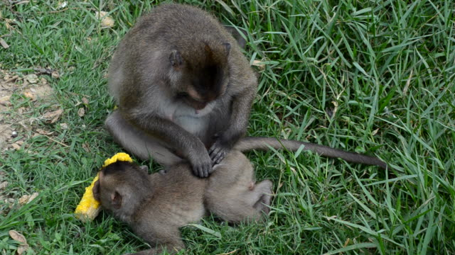 Monkey behavior Monkey macaque looking for fleas and ticks flea insect stock videos & royalty-free footage