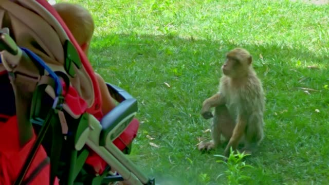 Monkey behind glass looks at kid in stroller
