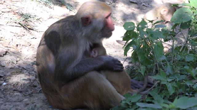 monkey amning - djurfamilj bildbanksvideor och videomaterial från bakom kulisserna