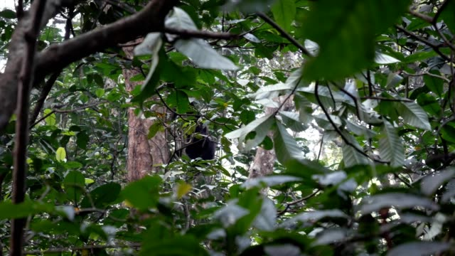 monkey schimpans klättrar snabbt på lianas och i tropiska skogen i afrika - utdöd bildbanksvideor och videomaterial från bakom kulisserna
