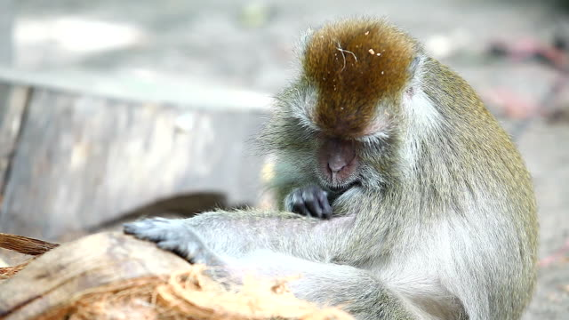 Monkey Clean Her Fleas Monkey Clean Her Fleas flea insect stock videos & royalty-free footage