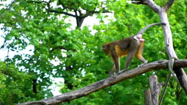 Affe erklimmen eine Holzbrücke in einer Voliere – Video