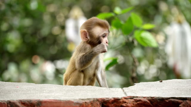 Monkey cub on a brick wall. video