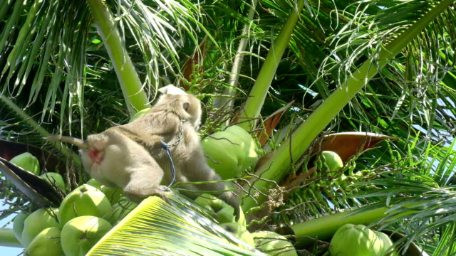 Monkey doing work, Coconut Monkey doing work, Coconut, Thailand coconut stock videos & royalty-free footage
