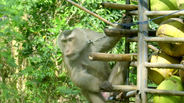 обезьяна делает работу, кокос, - кокос стоковые видео и кадры b-roll