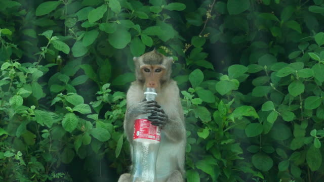 Monkey drinking water from water bottle - vídeo
