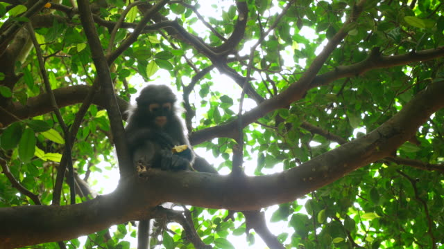 Monkey eating a banana in a tree in the forest video