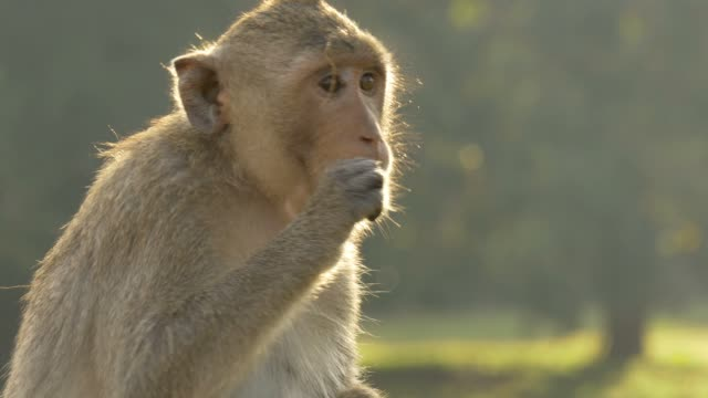 Monkey eating Angkor Wat Cambodia ancient civilization temple video