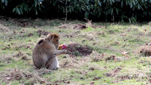 モンキー食べるアップルフルーツバーバリマカクのアルジェリア、モロッコ& - 猿点の映像素材/bロール