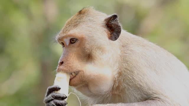 monkey eating banana - gibbon människoapa bildbanksvideor och videomaterial från bakom kulisserna
