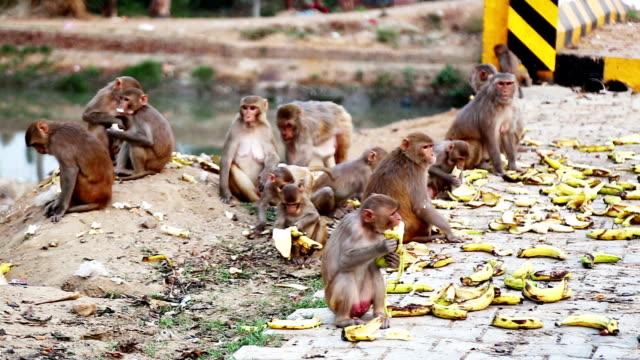モンキー食べるバナナ ビデオ