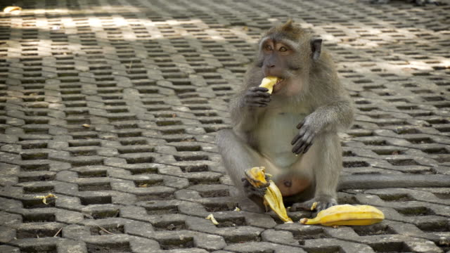 Monkey eating bananas video