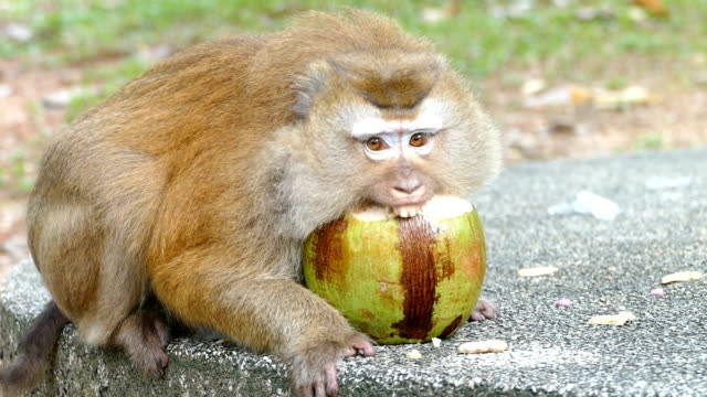 monkey eating coconut - кокос стоковые видео и кадры b-roll
