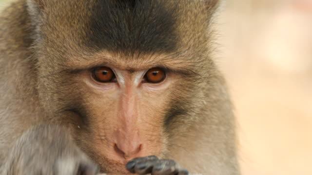 Monkey eating food, close up.
