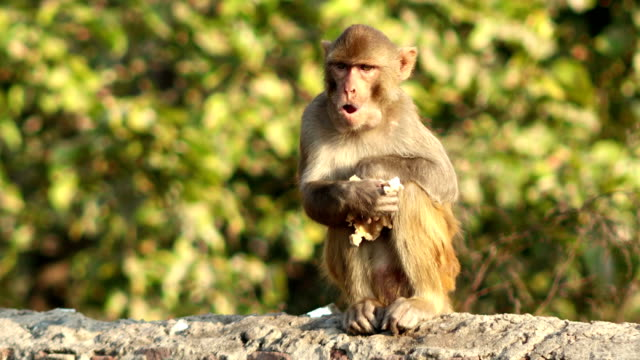 monkey eating food - primate video stock e b–roll