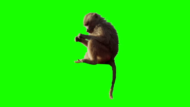 Monkey eating fruit in front of green screen.
