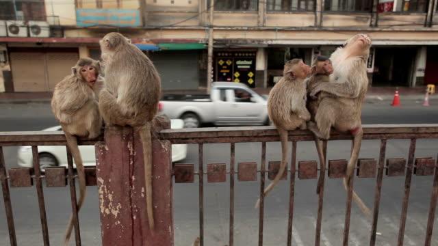 scimmia mangia frutta in città, lopburi, tailandia - scimmia video stock e b–roll