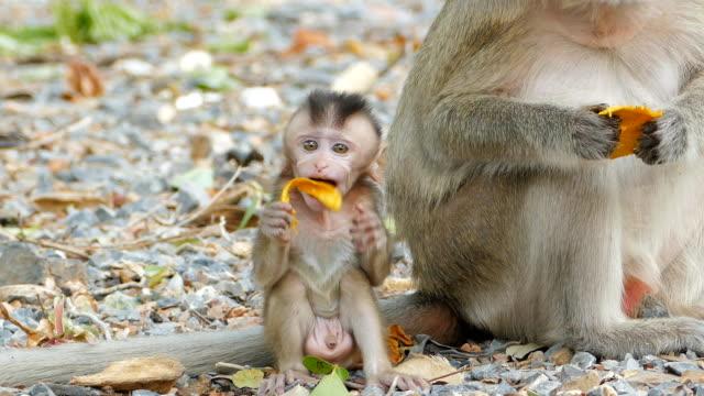 monkey äter mango - djurfamilj bildbanksvideor och videomaterial från bakom kulisserna