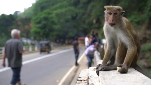 MS Monkey eating on bridge railing,Sri Lanka
