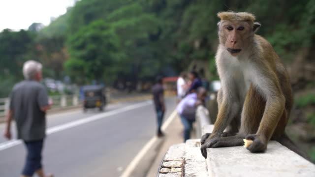ms monkey äta på bro räcke, sri lanka - primat bildbanksvideor och videomaterial från bakom kulisserna