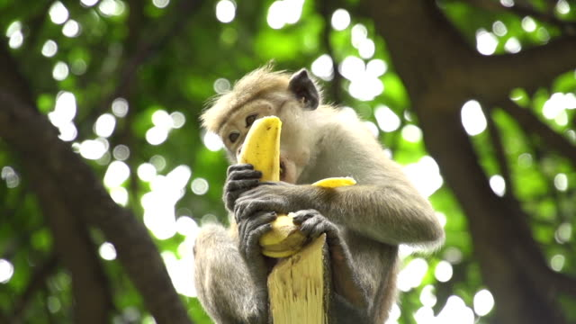 SLOW MOTION: Monkey eating the banana video