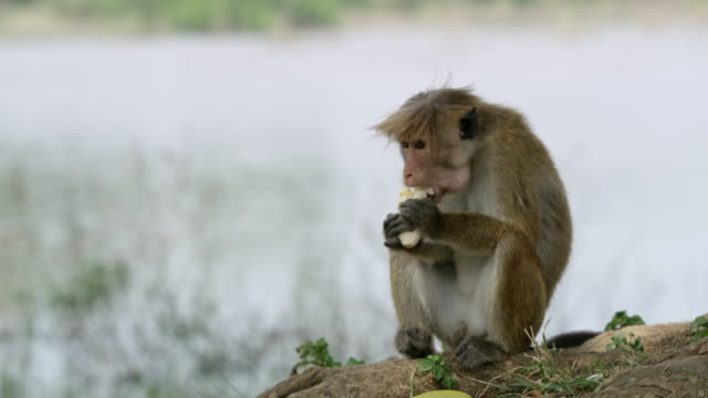 MS Monkey eating