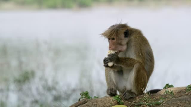 ms 猿を食べる - 猿点の映像素材/bロール