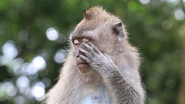 kutsal maymun orman ubud, adası bali, endonezya, maymun aile - makak maymunu stok videoları ve detay görüntü çekimi